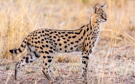 Preview wallpaper Animal serval, wildlife