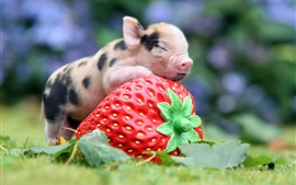 Animals, little pig, big strawberry