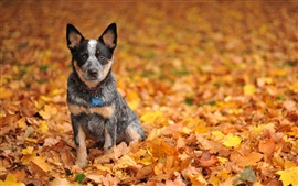 Preview wallpaper Cute black dog in yellow leaves ground