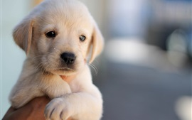 Preview wallpaper Cute puppy, dog, pet, face, hand