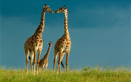 Preview wallpaper Giraffes, wildlife, sky, grass