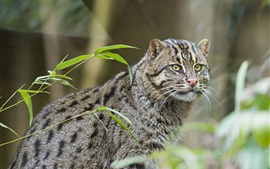 Preview wallpaper Gray fisher cat, fishing cat