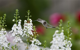 Preview wallpaper Hummingbirds close-up, birds, white flowers