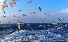 Muitos pássaros, gaivotas, mar azul, mar, água, ondas