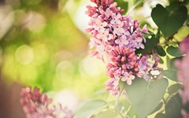 Preview wallpaper Pink flowers, lilac, spring, glare