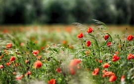 Preview wallpaper Poppies, red flowers, grass