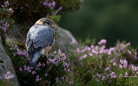 Predador, falcão, flores, grama, pedras