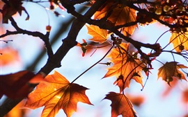 Preview wallpaper Red maple leaves, autumn, tree, sunlight