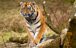 Siberian tiger, predators, trees