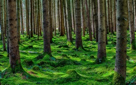 Preview wallpaper Summer forest, trees, pine, moss