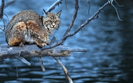 Preview wallpaper Water, twigs, predator, lynx, look