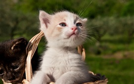 Preview wallpaper White kitten in the basket