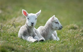 Preview wallpaper White sheep, lambs, grass