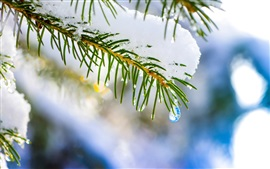 Winter nature, macro, spruce, tree, snow