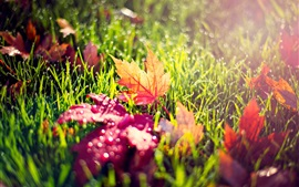 Yellow red leaves, green grass, dew