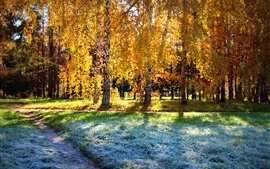 Preview wallpaper Birch forest, autumn sunshine