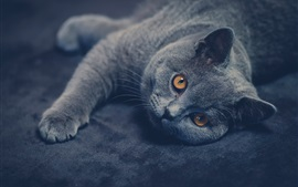 Preview wallpaper British shorthair cat look