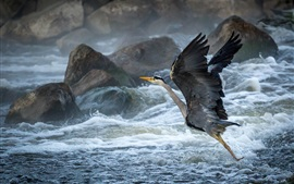 Preview wallpaper Coast, rocks, waves, birds, heron, takeoff