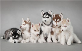Preview wallpaper Husky dogs, puppies