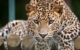 Leopard face close-up, eyes