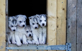 Preview wallpaper Puppies, husky dogs look out