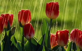 Preview wallpaper Red tulip flowers, rain, summer, greens