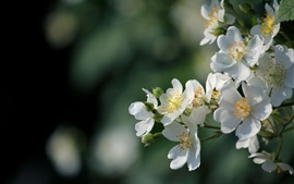 Preview wallpaper White flowers bloom, spring, glare