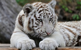 White tiger, predator