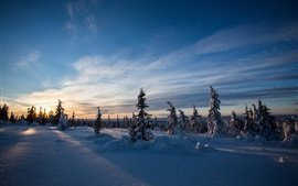 Winter, snow, spruce, sunset