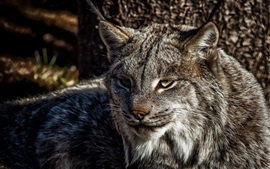 Preview wallpaper A predator, lynx, cat