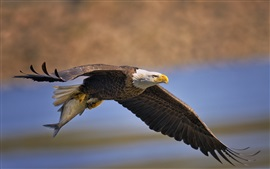 Preview wallpaper Bald eagle, bird, predator fish, flying, wings