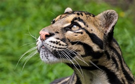 Preview wallpaper Clouded leopard, predator
