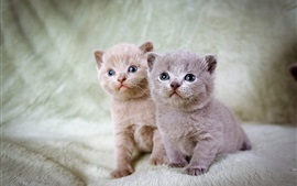 Furry kittens, twins