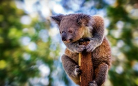 Preview wallpaper Furry koala, look at side, bokeh