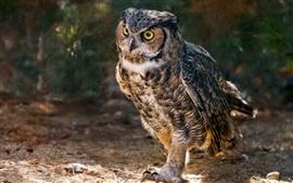 Horned owl, birds