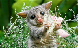 Mammal, young opossum, plant, nature