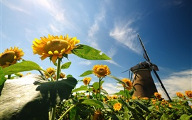 Nature, sunflowers, leaves, windmill, blue sky