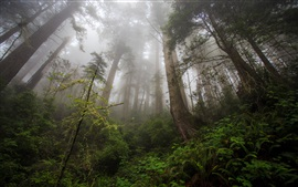Preview wallpaper Northern California, Redwood heaven, trees, fog