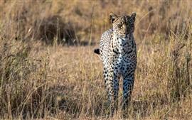 Predator, leopardo, savana africano, gato grande