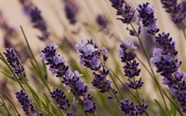 Preview wallpaper Purple flowers, lavender macro