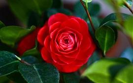 Red camellia flower, leaf, macro
