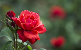 Preview wallpaper Red rose, flower buds, leaves