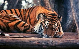 Preview wallpaper Tiger sleep, timber, trees