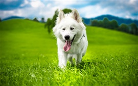 White dog, summer, grass