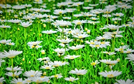 Preview wallpaper White flowers, daisies, green