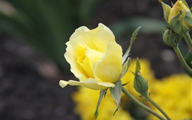 Preview wallpaper Yellow rose flower close-up