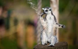Animales, lemur, un fumador, cigarrillo