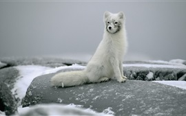 Preview wallpaper Arctic fox sitting on a rock