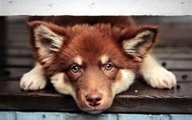 Cão marrom, rosto, olhos