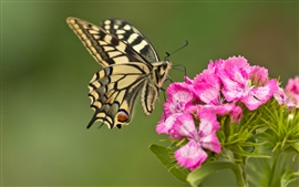 Preview wallpaper Butterfly, pink flowers, close-up